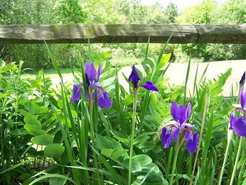 Iris at Beaver Lake