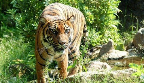 Tiger-wikimedia-commons-public-domain-665x385