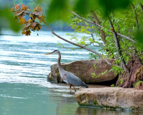 great-blue-heron-360797_640