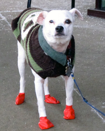 dog-wearing-booties